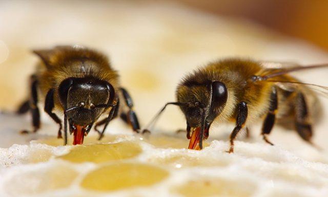 Cara Mengobati Batuk Berdarah secara Alami dengan Madu dari lebah