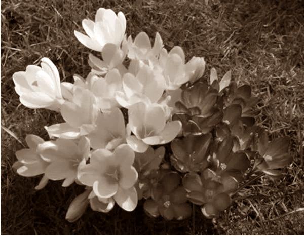 Putik Bunga Kuma – Kuma sebagai Cara Tradisional Menyembuhkan Batuk Rejan