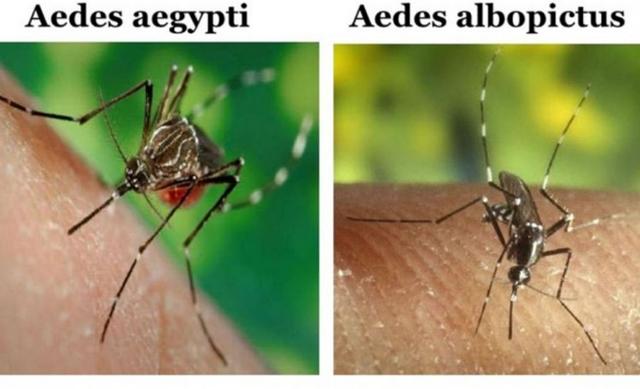 Bentuk Nyamuk Penyebab Penyakit Demam Berdarah